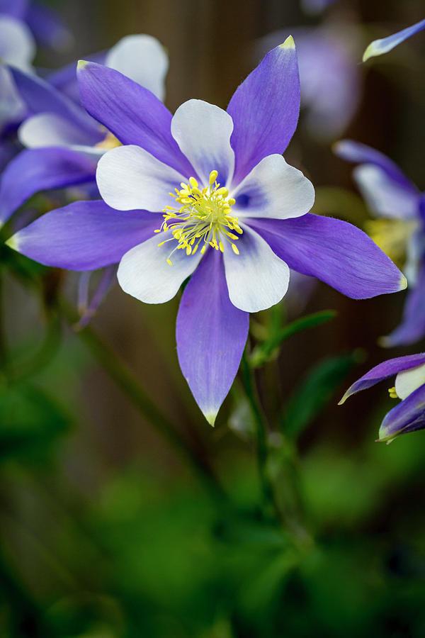 1-colorado-state-flower-blue-columbines-teri-virbickis.jpg