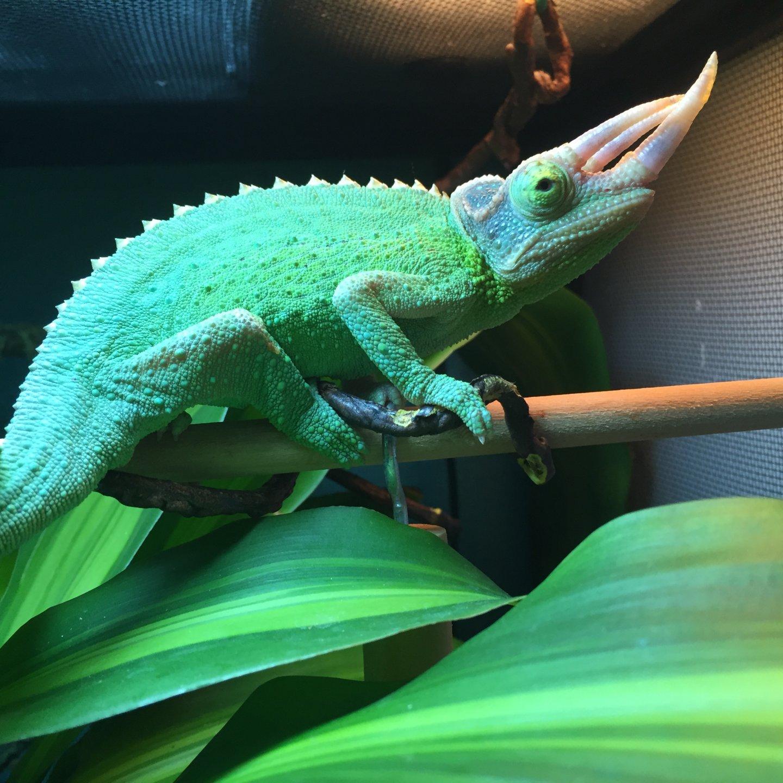 Rainbow Jackson? | Chameleon Forums
