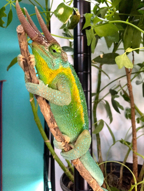 rainbow jackson chameleon forums