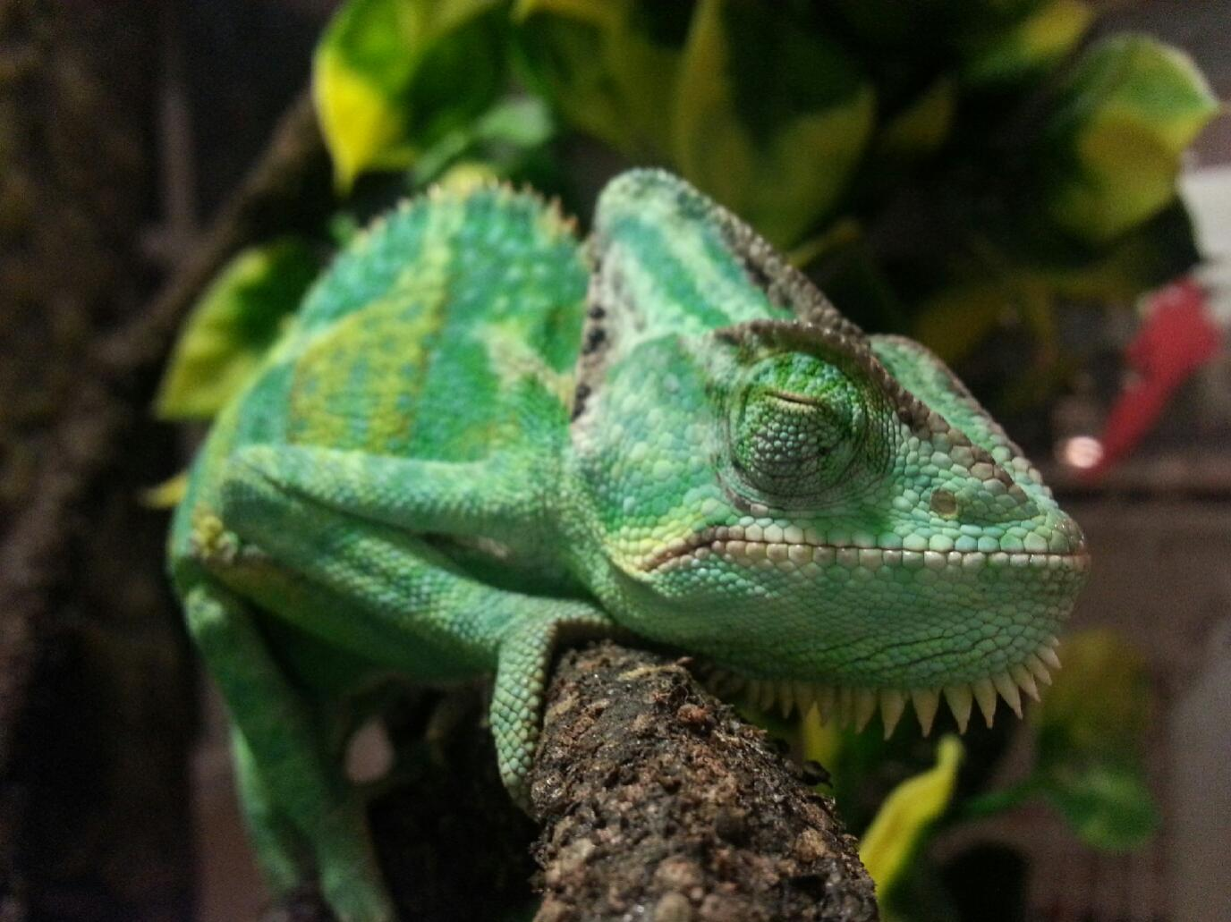 help veiled chameleon eyes won u0027t open chameleon forums
