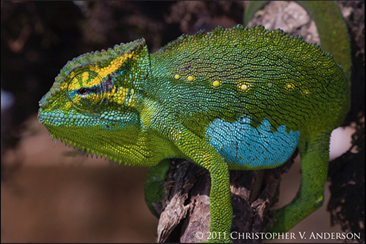 350 Trioceros serratus (Central Peacock Chameleon), Oku Village, Northwest Region, Cameroon ma...jpg