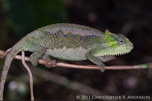 350 Trioceros serratus female (Central Peacock Chameleon), Oku Village, Northwest Region, Came...jpg