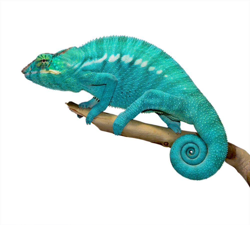 Azul Jr - Nosy Be - Canvas Chameleons (1) Small.jpg