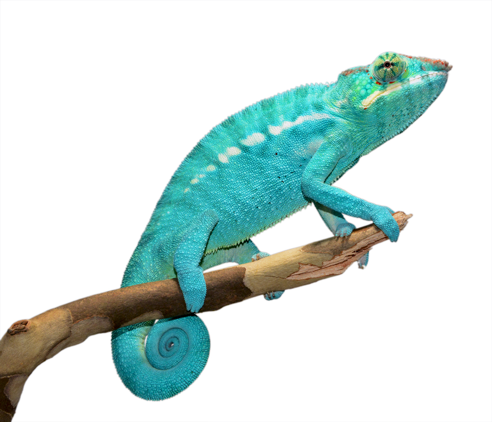 Azul Jr - Nosy Be - Canvas Chameleons (2) Small.jpg