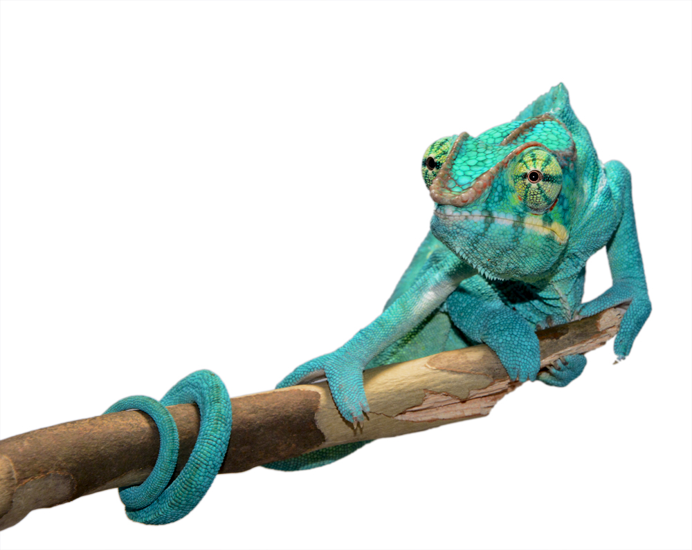Azul Jr - Nosy Be - Canvas Chameleons (3) Small.jpg