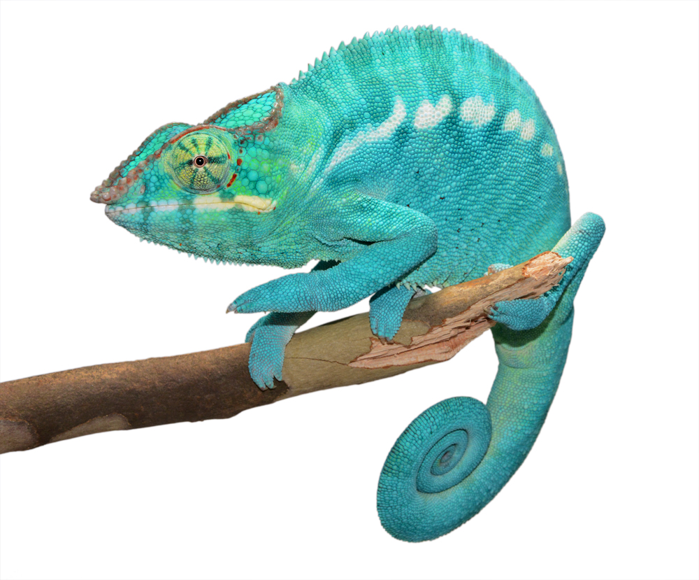 Azul Jr - Nosy Be - Canvas Chameleons (4) Small.jpg