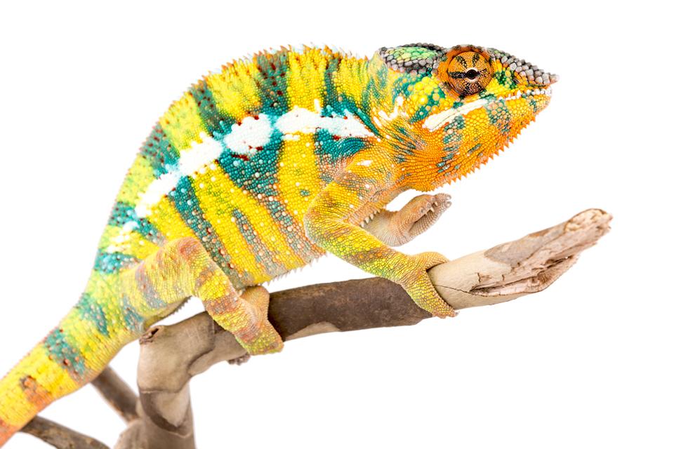 Bob-Marley-Panther-Chameleon-Canvas-Chameleons-5.jpg