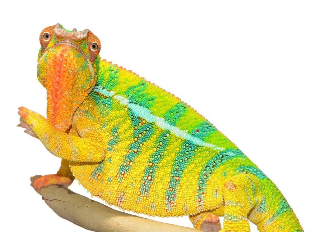 Bolt-Ambilobe-Sire-Canvas-Chameleons-Small-1.jpg