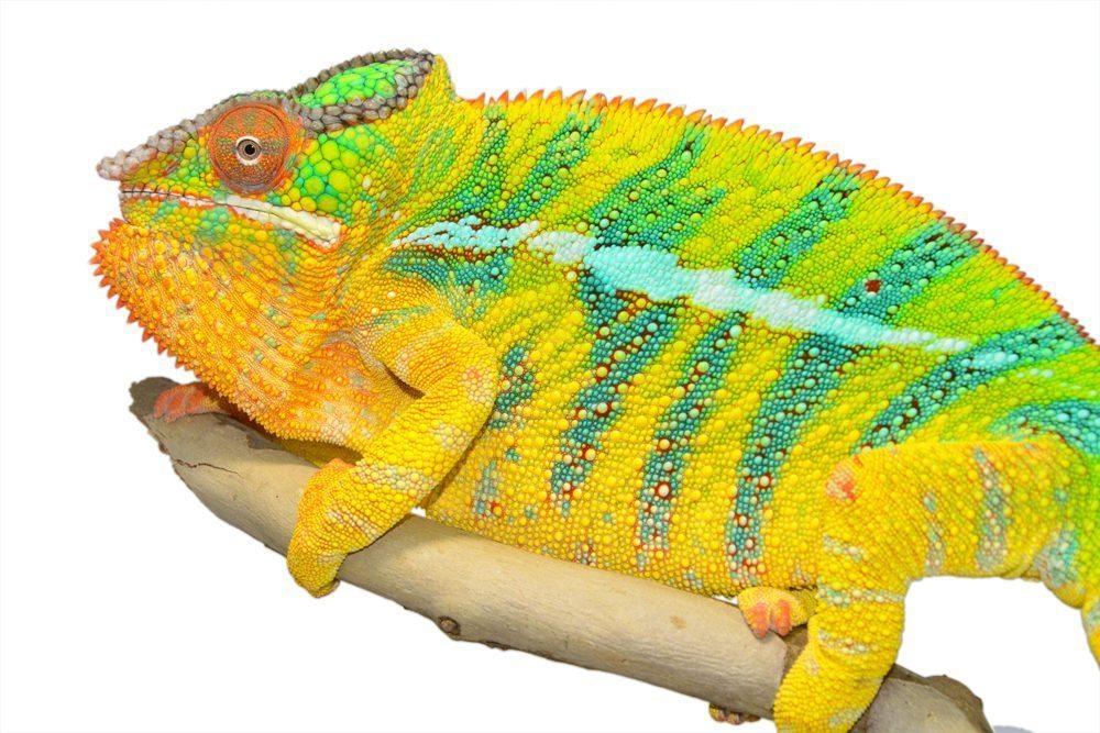 Bolt-Ambilobe-Sire-Canvas-Chameleons-Small-2.jpg