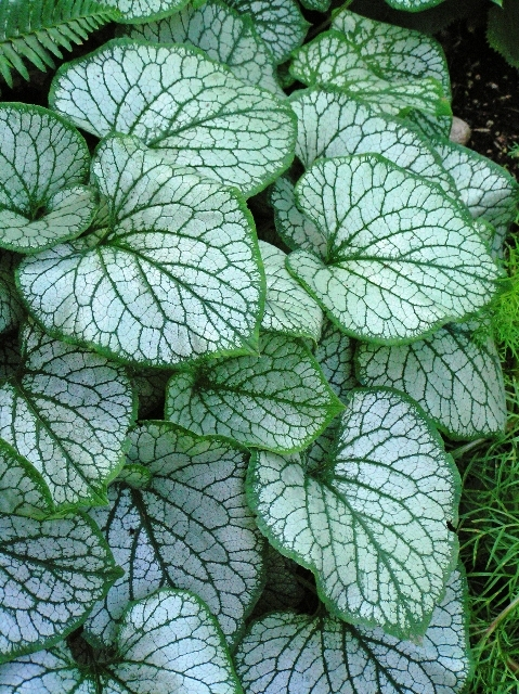 Brunnera-macrophylla-Jack-Frost-2__21299.1422999900.jpg