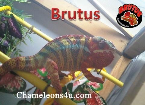 brutus update.jpg