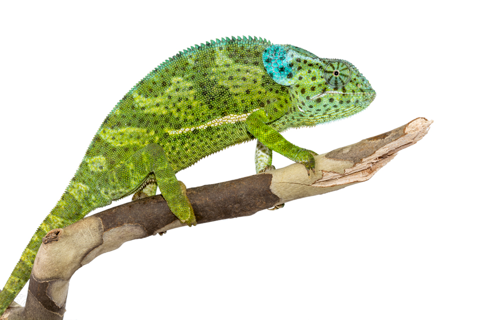 Chamaeleo-Dilepis-Female-Canvas-Chameleons-7.jpg