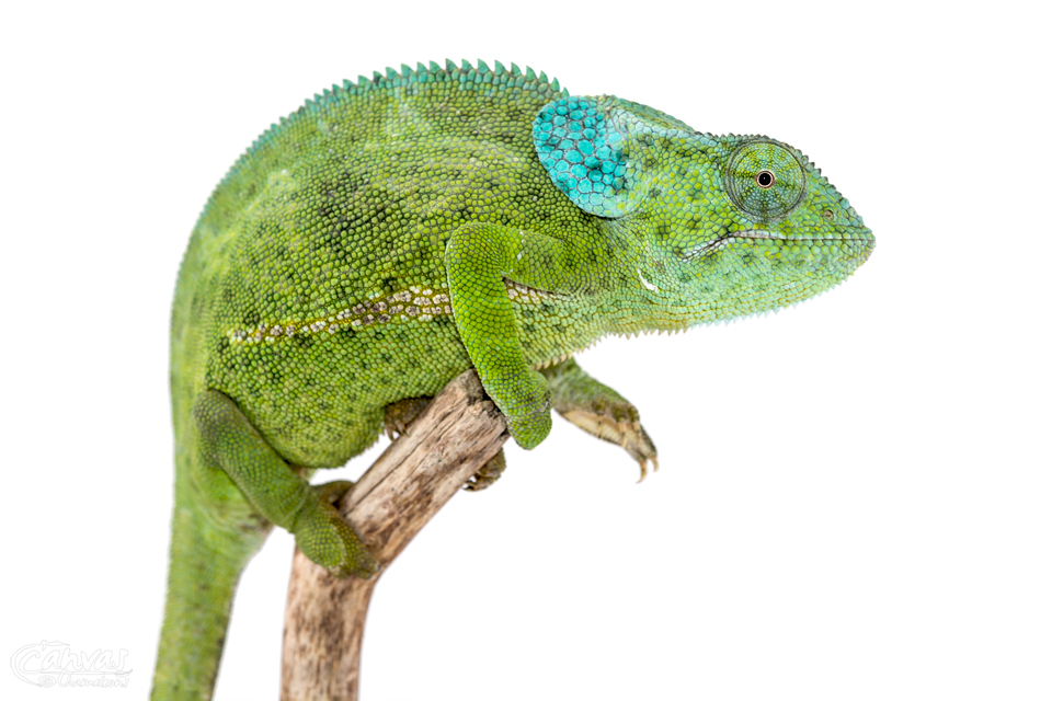 Chamaeleo-Dilepis-Female-Canvas-Chameleons.jpg