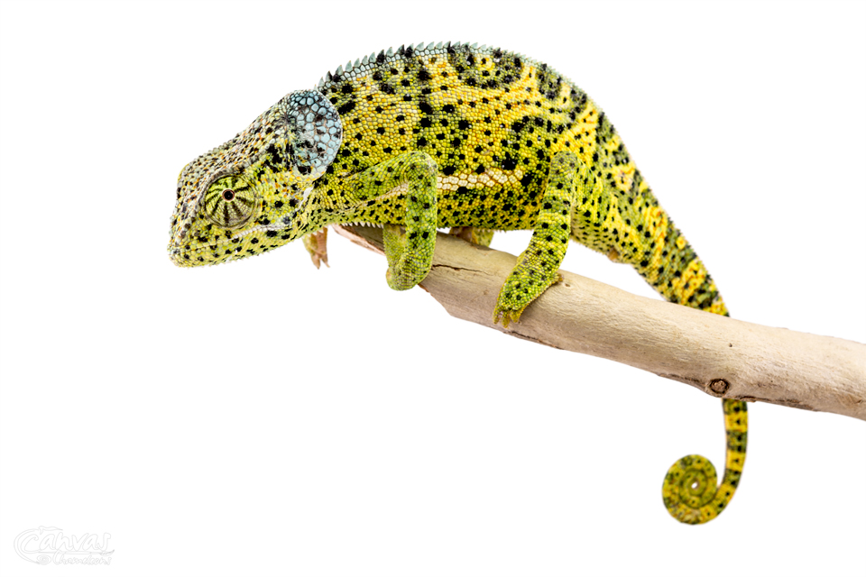 Chamaeleo-Dilepis-Male-Canvas-Chameleons-13.jpg