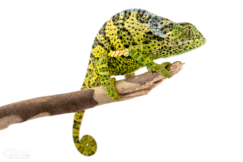 Chamaeleo-Dilepis-Male-Canvas-Chameleons-9.jpg