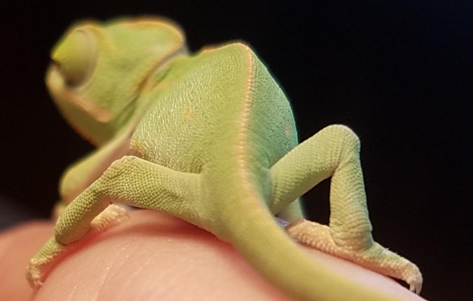 Chameleon baby #1- A.jpg