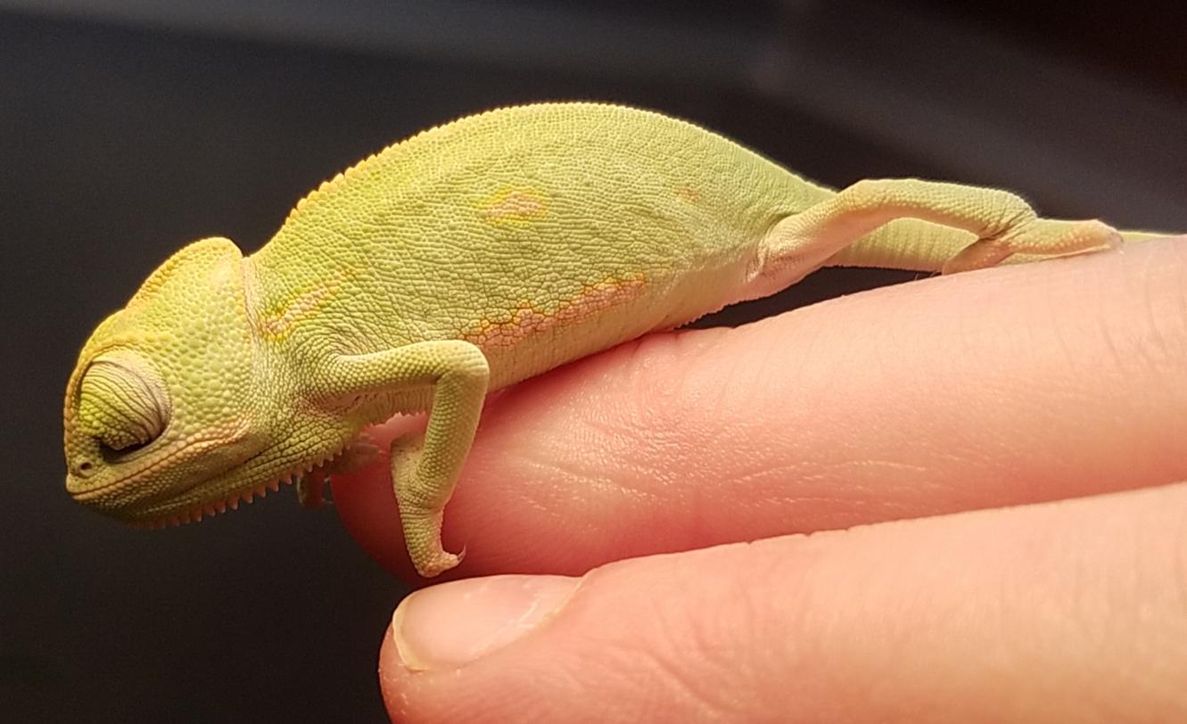 Chameleon baby #1- C.jpg