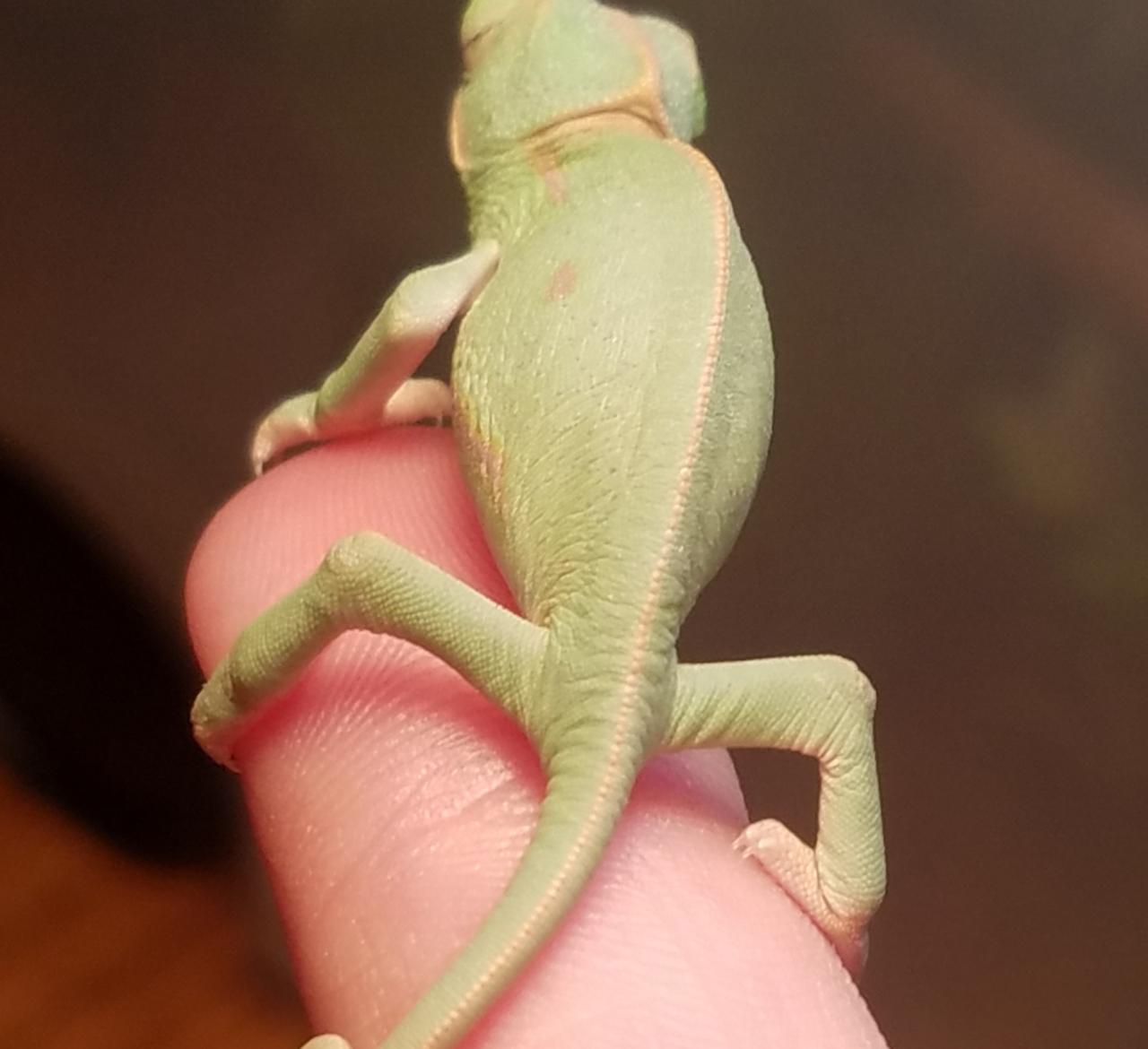 Chameleon baby #2- A.jpg