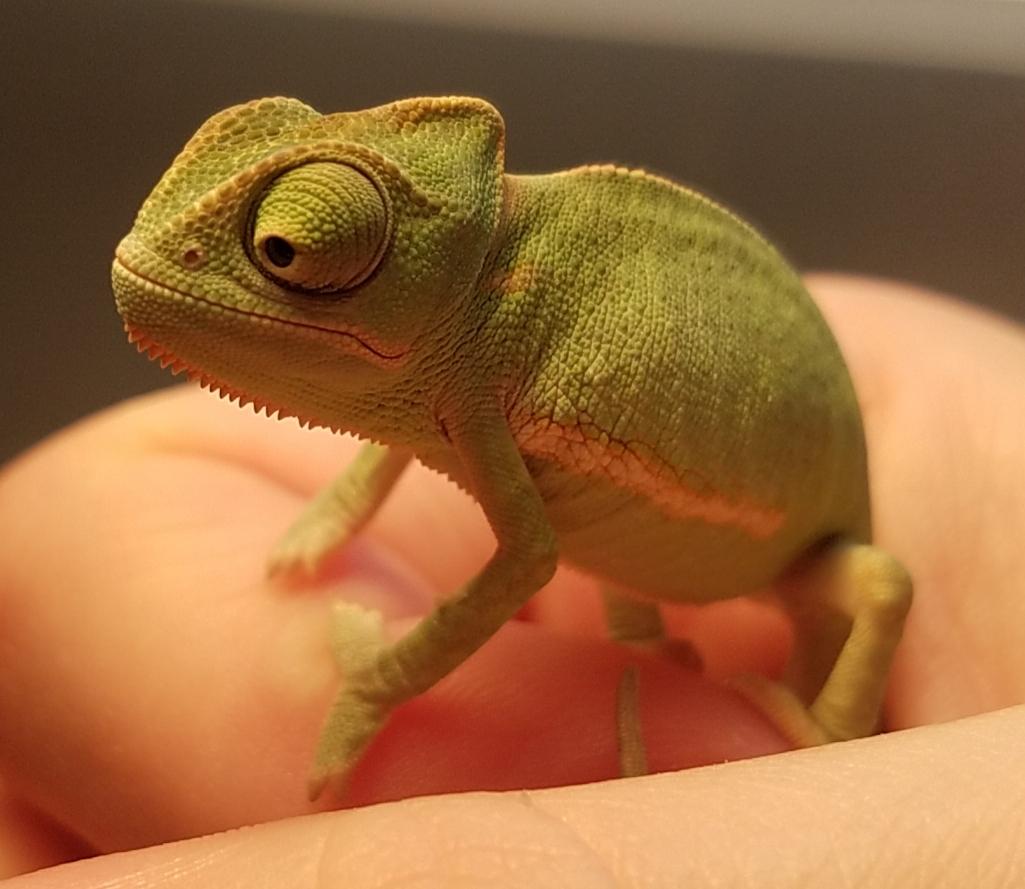 Chameleon baby #3 - A.jpg
