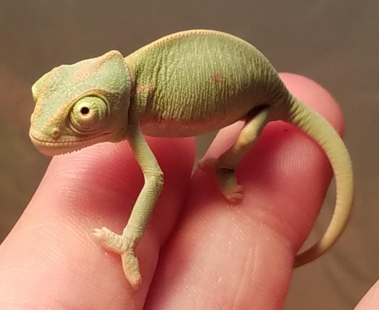 Chameleon baby #3- C.jpg