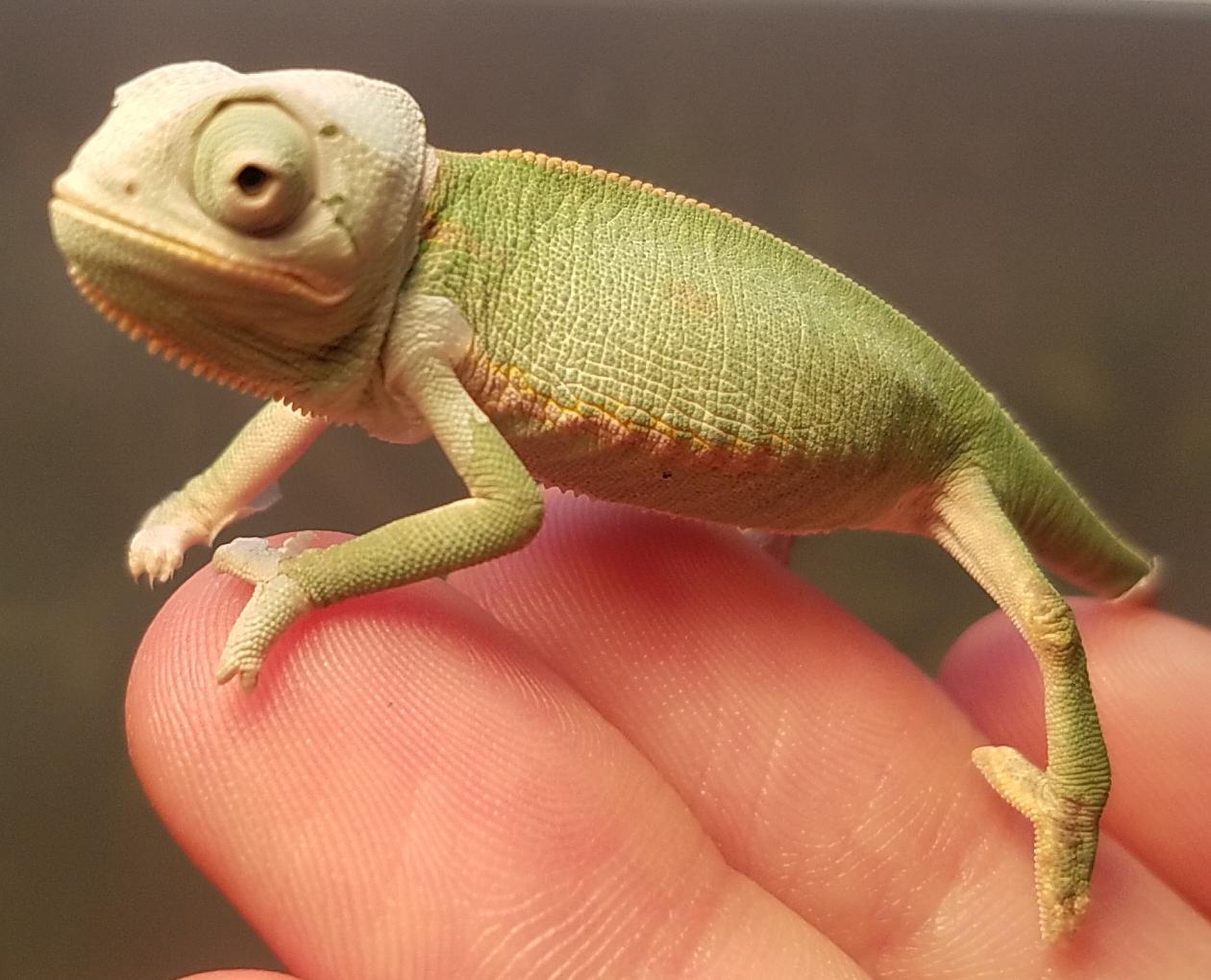 Chameleon baby #4 - A.jpg