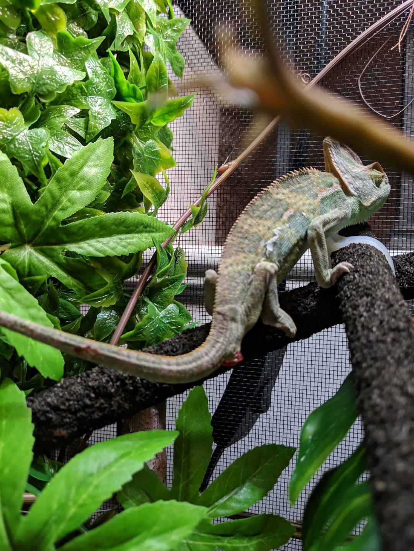 Chameleon_1.jpg