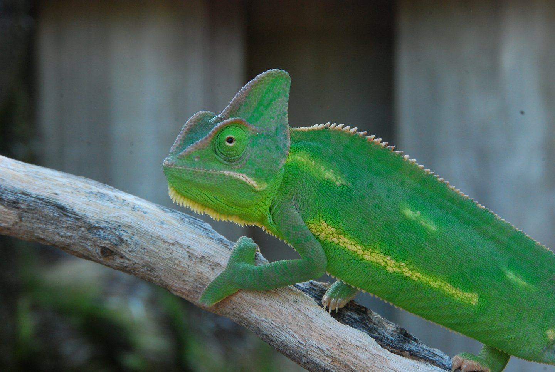 Chameleons and babies 7 23 14 084.JPG