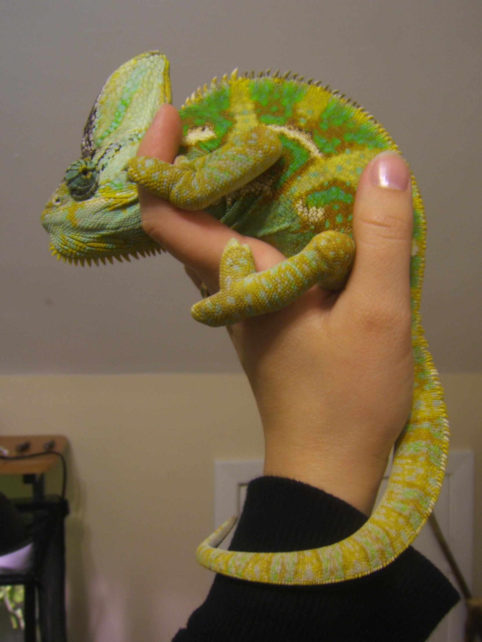Kidney Failure Chameleon Forums