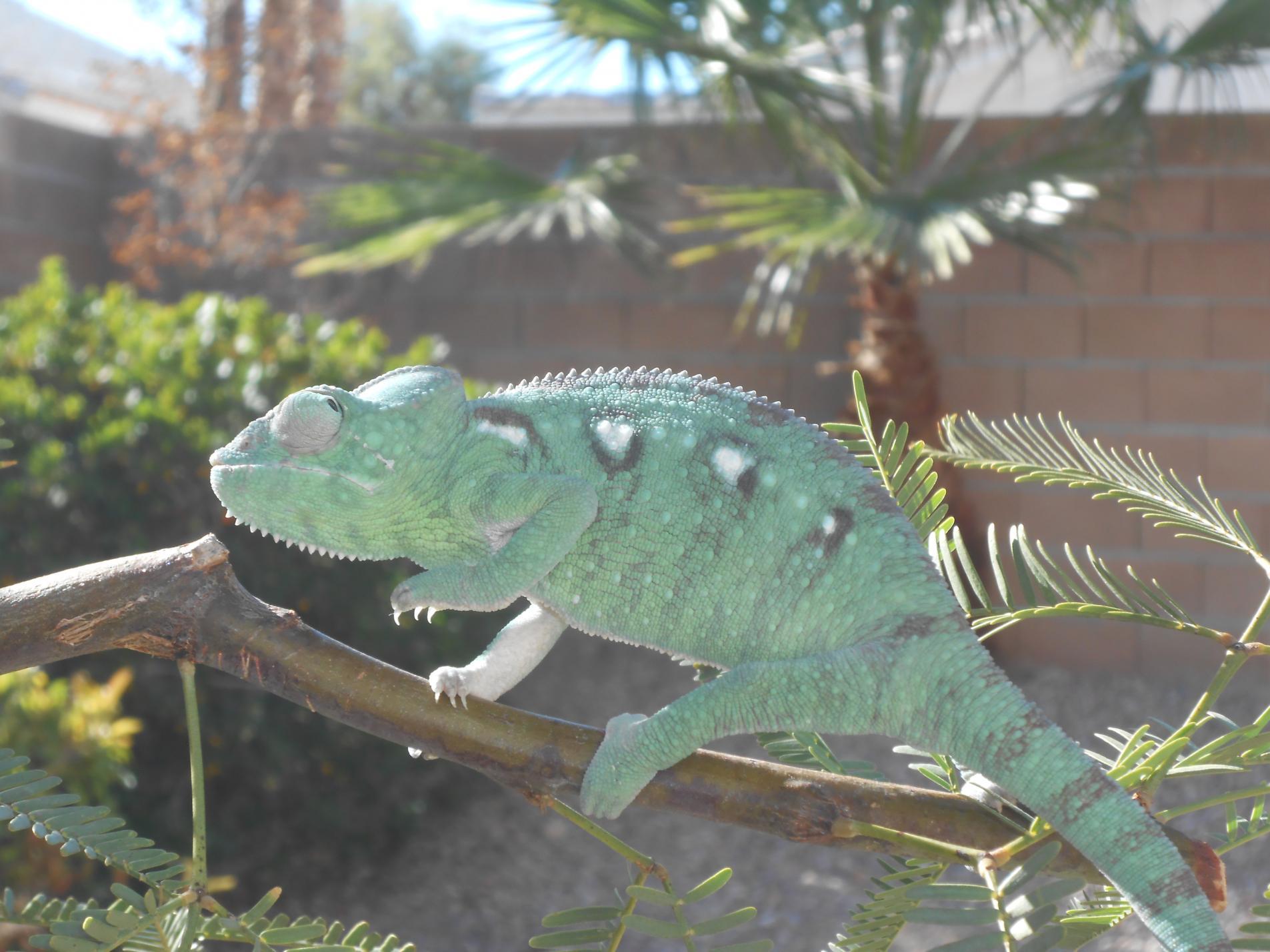 Oustalet's Chameleons for sale   Chameleon Forums