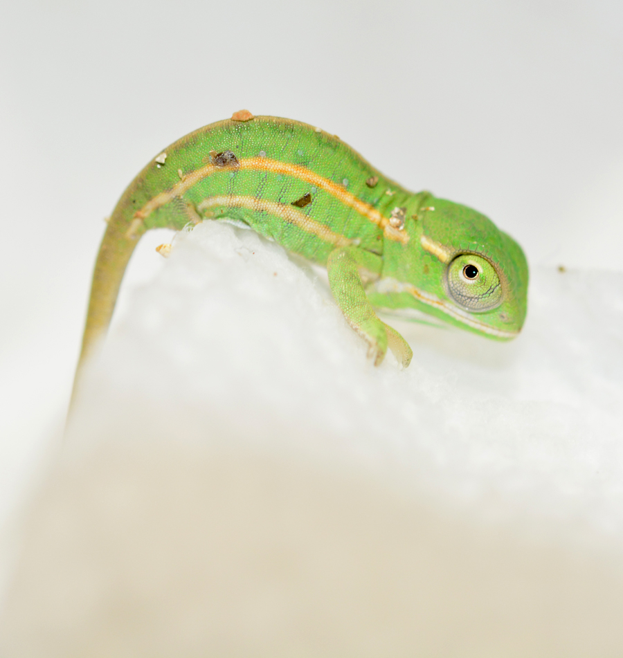 Furcifer Campani - CB Baby - Canvas Chameleons (1) Small.jpg