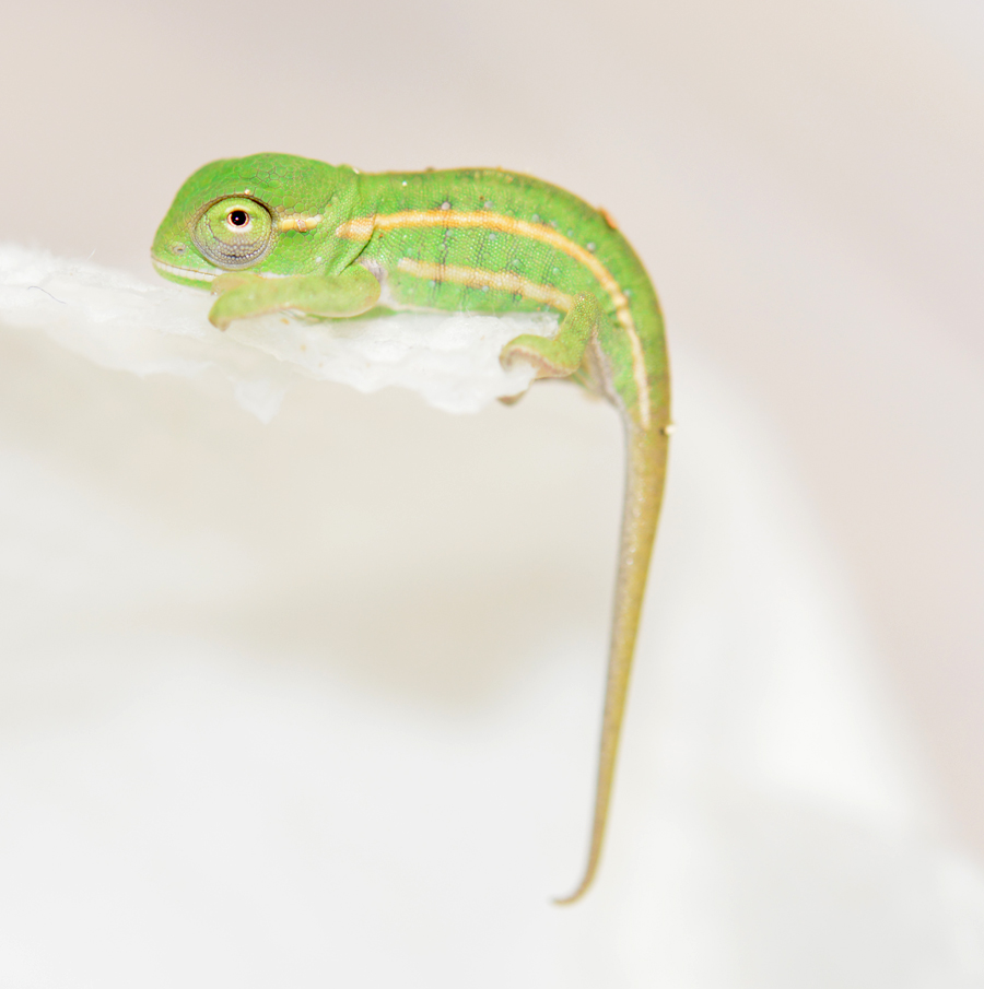 Furcifer Campani - CB Baby - Canvas Chameleons (2) Small.jpg