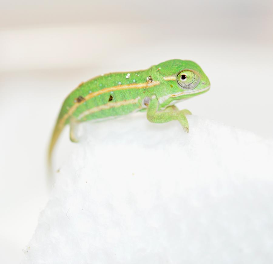 Furcifer Campani - CB Baby - Canvas Chameleons (4) Small.jpg
