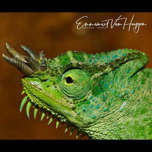 gracilior male Emmanuel Vanheygen 533.jpg