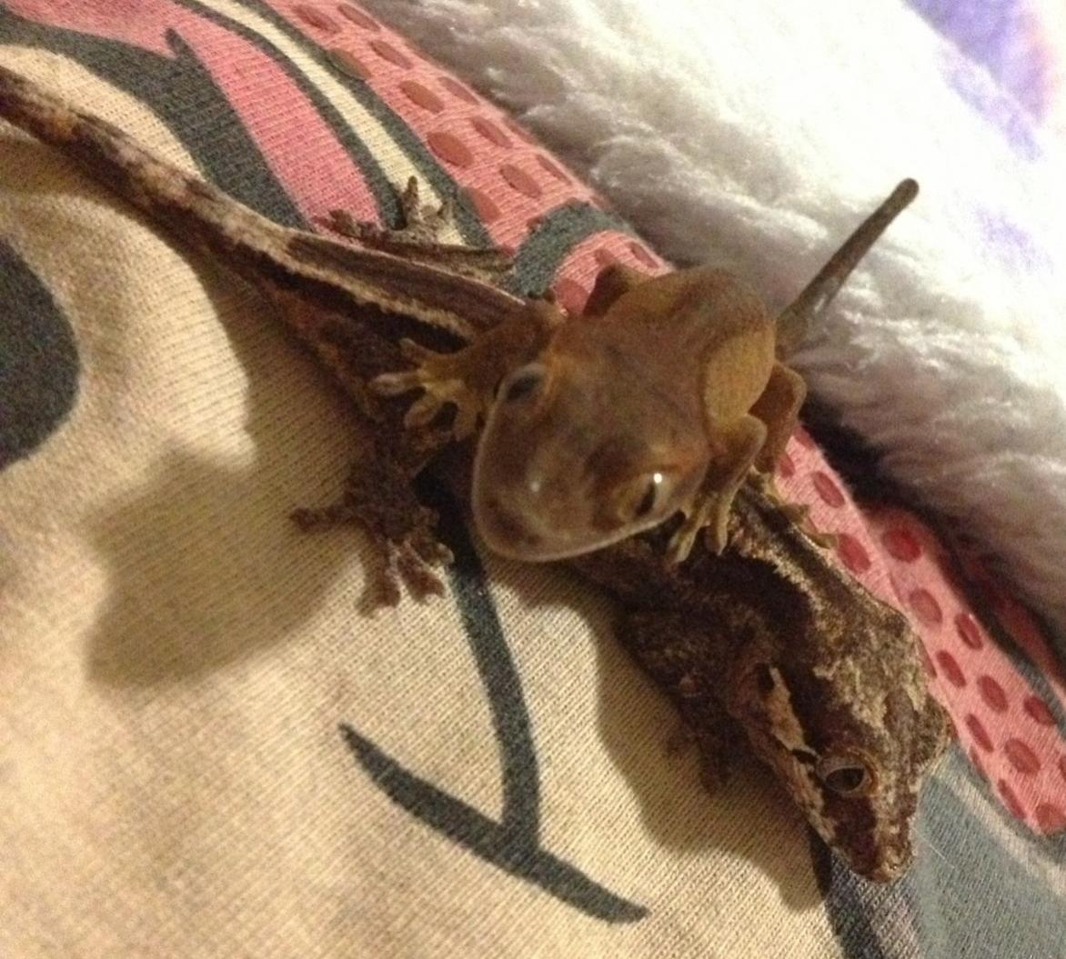 Gargoyle Gecko vs Crested Gecko Question | Chameleon Forums