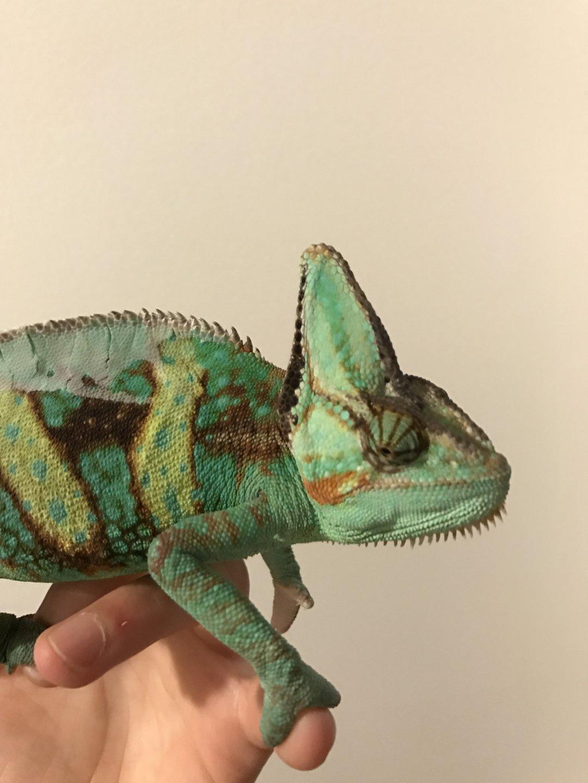 Hyper extension?   Chameleon Forums