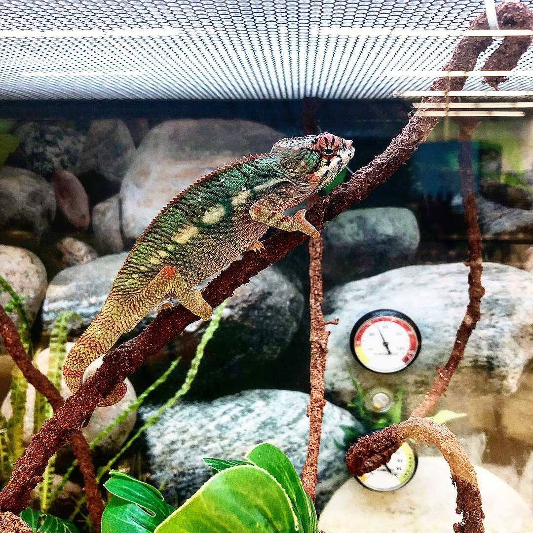 New panther chameleon from Petco | Chameleon Forums