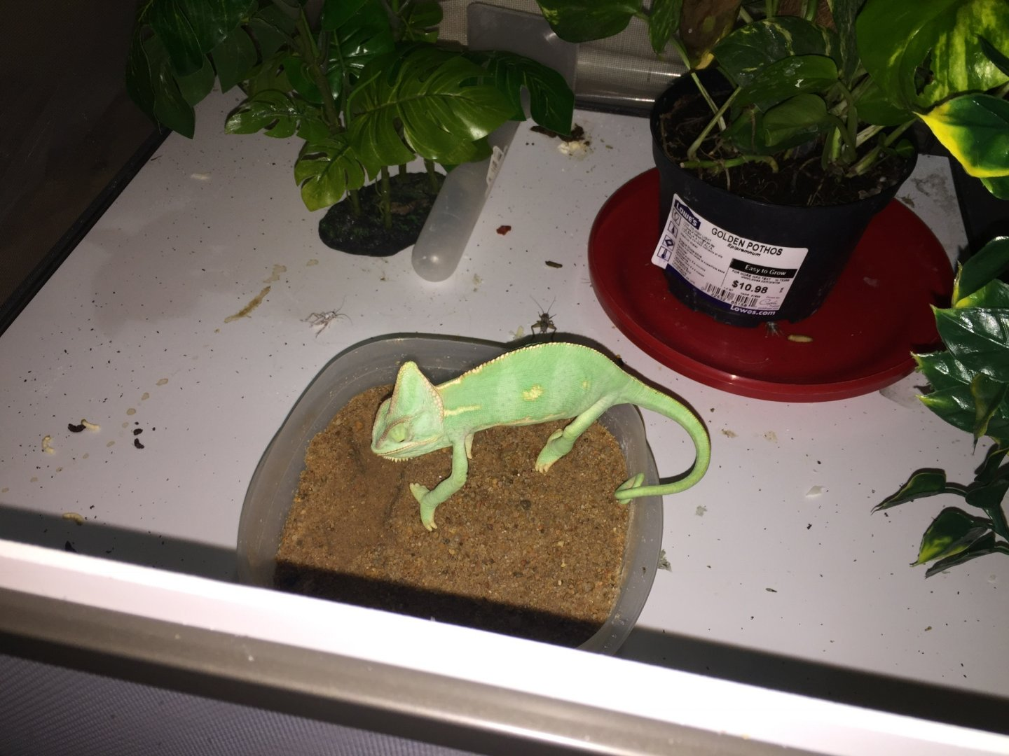 Female veiled eating sand in the laying bin | Chameleon Forums