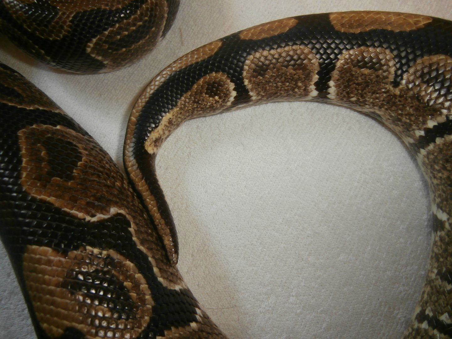 Should i get a male or female ball python-3218