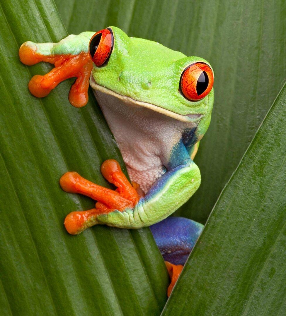 red-eyed-tree-frog-on-leaves-3-2.ngsversion.1599857829864.adapt.1900.1.jpg