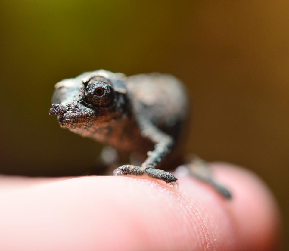 Rhampholeon Acuminatus - Captive Born Baby - Canvas Chameleons (14).png