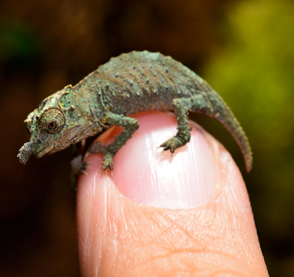 Rhampholeon Acuminatus - Captive Born Baby - Canvas Chameleons (5).png