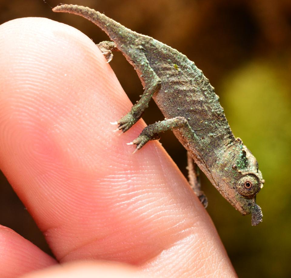 Rhampholeon Acuminatus - Captive Born Baby - Canvas Chameleons (6).png