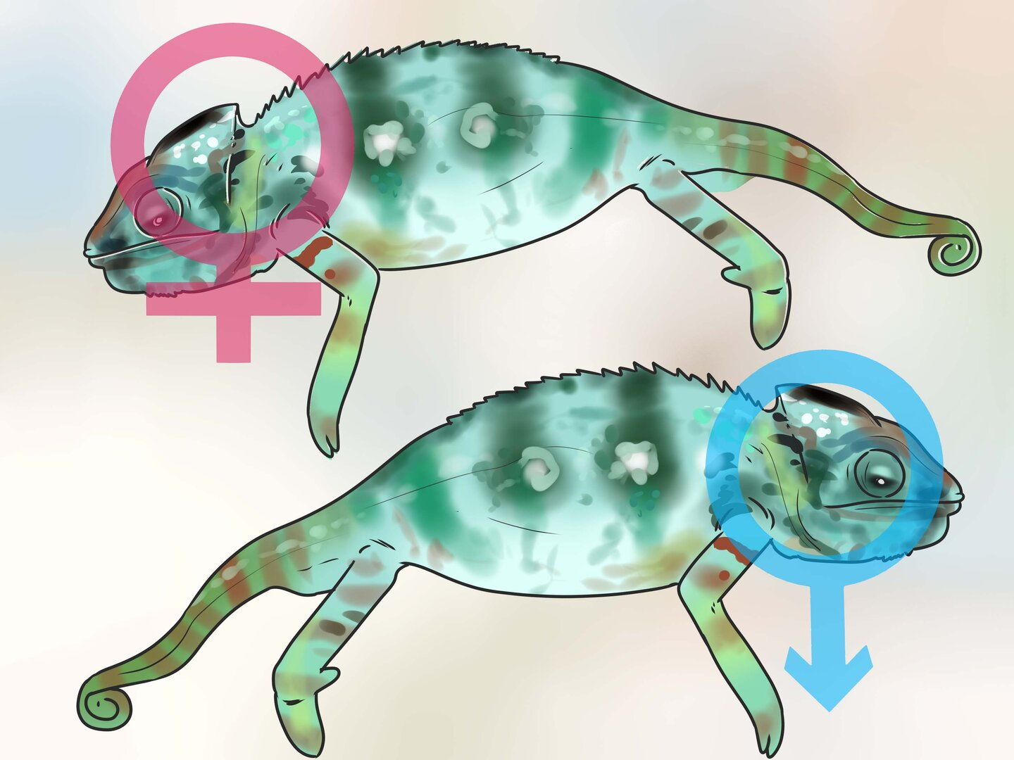 Tell-if-a-Chameleon-Is-Male-or-Female-Step-13.jpg