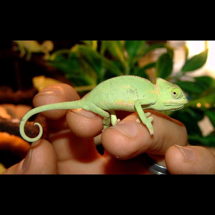 veiled-chameleons-babies.jpg