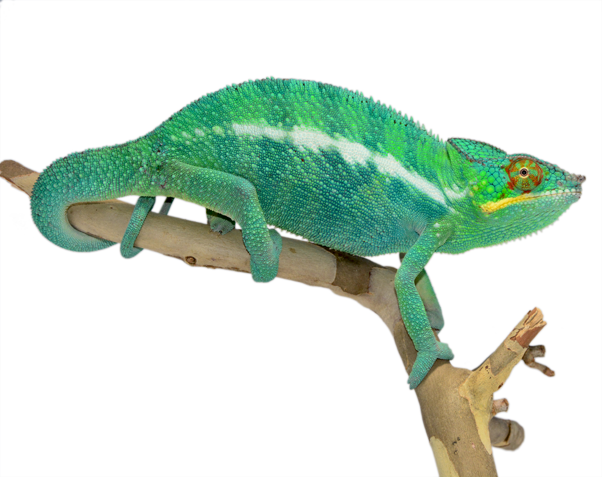 Wild Caught Nosy Be 2 - Panther Chameleon - Canvas Chameleons (2) Small.jpg