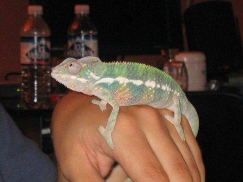 Chameleon Side View.jpg