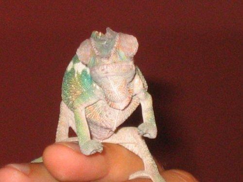 Chameleon Front View.jpg