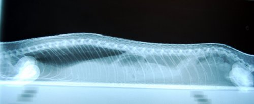 Metabolic Bone Disease X-Ray of a Blue Tongue Skink