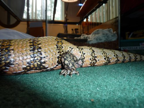 real mbd in a blue tongue skink