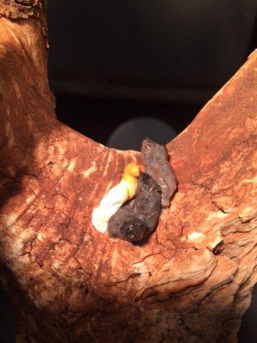 Grey Poop Healthy Poop? | Chameleon Forums